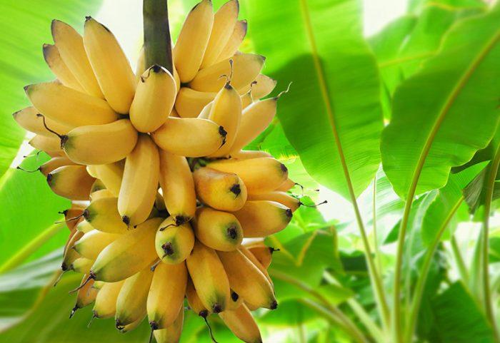Förvara inte bananer i kylskåpet