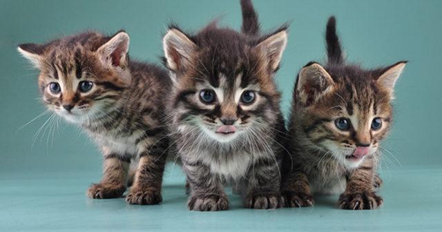 giftig mat för katter
